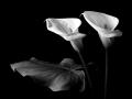 Kostas Chalkiadakis, Greece - Calla Lilies Nr2